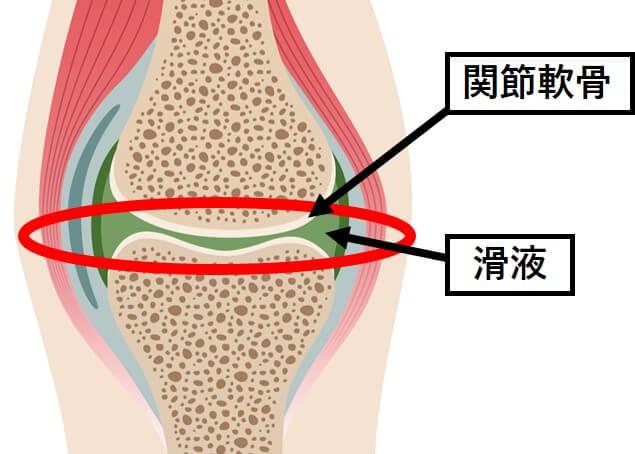 関節軟骨、滑液