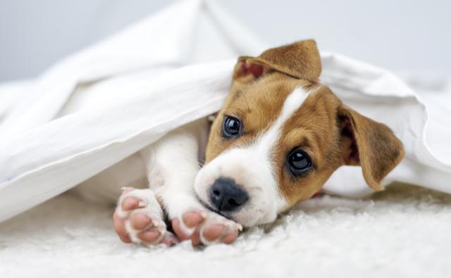 犬 年齢 大型 犬の寿命とおおよその年齢│犬の育て方学科